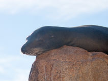 """California Sea Lion sunning himself on """"the Point"""" or """"Pinnacle of Lands End"""" of Los Arcos in Cabo San Lucas in Baja Mexic Stock Image"""