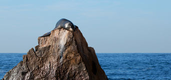 California Sea Lion sunning himself on the Pinnacle rock of Lands End at Cabo San Lucas Baja Mexico Stock Image