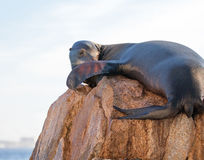 """California Sea Lion sunning and lazing on """"the Point"""" or """"Pinnacle of Lands End"""" of Los Arcos in Cabo San Lucas in Mexico Royalty Free Stock Photo"""