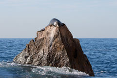 California Sea Lion sunning on the Pinnacle rock of Lands End at Cabo San Lucas Baja Mexico Stock Images