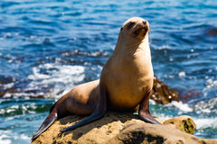 California Sea Lion Sunning on Rock in La Jolla, California. A California sea lion Zalophus californianus sunning himself on a rock at La Jolla Cove in San Diego stock image