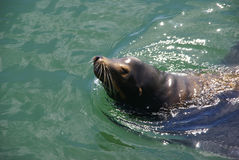 California Sea Lion, swimming in harbor Royalty Free Stock Photo