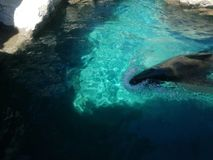 California sea lion swimming. Ife and fauna marina, mammalian animal of saltwater, at a zoo in the Mexico City Royalty Free Stock Images
