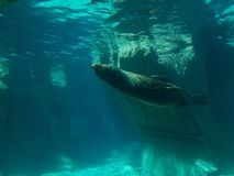 California sea lion swimming. View underwater. life and fauna marina, mammalian animal of saltwater, at a zoo in the Mexico City Stock Photography