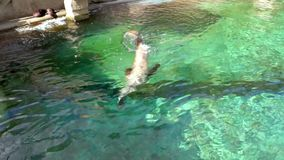 California sea lion swimming in the water, eared seal specie from America. A California sea lion swimming in the water, eared seal specie from America stock footage