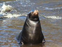 California sea lion Stock Photos