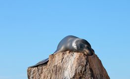 California Sea Lion warming himself in the morning sun on the Pinnacle rock of Lands End at Cabo San Lucas Baja Mexico Stock Photography