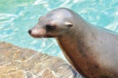 California sea lion Stock Photography