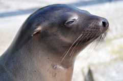 California sea lion Stock Photos