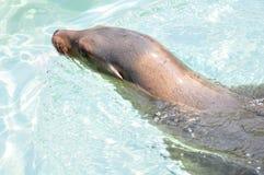 California sea lion Royalty Free Stock Photo