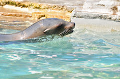 California sea lion Royalty Free Stock Image