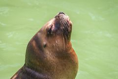 The California sea lion. The California sea lion in a water Stock Photos