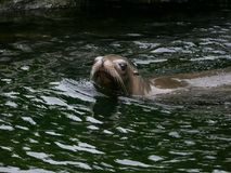 California Sea Lion in water looking at camera. royalty free stock photography