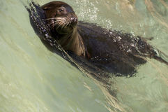 California Sea Lion in Wave. California Sea Lion swimming into wave with head sticking out of water stock photography