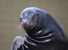 California sea lion wave Stock Image