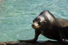 California sea lion (Zalophus californianus). The Californian seal in a zoo stock photography