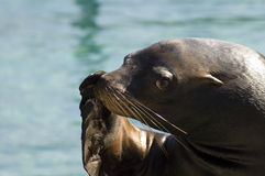 California sea lion (Zalophus californianus). A Californian seal during a zoo show stock photography