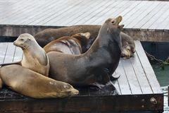 California Sea Lion - Zalophus Californianus. California Sea Lion Zalophus Californianus stock photography