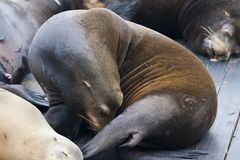 California Sea Lion - Zalophus Californianus. California Sea Lion Zalophus Californianus stock photos