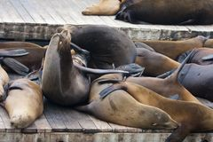California Sea Lion - Zalophus Californianus. California Sea Lion Zalophus Californianus stock images