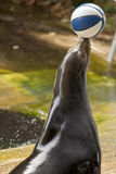 California Sea Lion (Zalophus californianus) Balancing a Ball Royalty Free Stock Photo