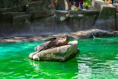 California sea lion Zalophus californianus in Barcelona Zoo.  royalty free stock photo