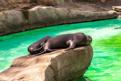 California sea lion Zalophus californianus in Barcelona Zoo.  stock photography