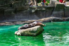California sea lion Zalophus californianus in Barcelona Zoo.  royalty free stock image