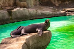 California sea lion Zalophus californianus in Barcelona Zoo.  royalty free stock images