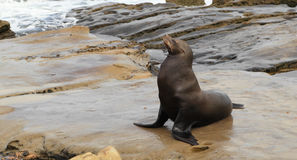 California sea lion (Zalophus californianus) Royalty Free Stock Photos