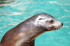 California sea lion. A California sea lion (Zalophus californianus) during an exhibition royalty free stock photos
