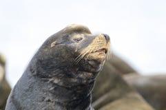 California Sea Lion (Zalophus californianus) Stock Photos