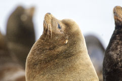California Sea Lion (Zalophus californianus) Stock Image
