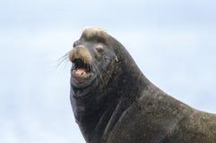 California Sea Lion (Zalophus californianus) Royalty Free Stock Photo