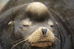 California Sea Lion (Zalophus californianus) Royalty Free Stock Image