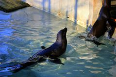 California sea lion, or Zalophus californianus. California sea lion Zalophus californianus jumps out of blue water. In  Zagreb Zoo, Croatia Royalty Free Stock Photography