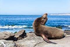 California Sea Lion Zalophus Californianus in La Jolla. A California sea lion resting on the beach in La Jolla, San Diego, California Zalophus Californianus. An stock photography