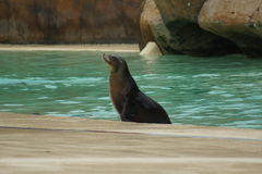 California Sea Lion - Zalophus californianus Stock Images