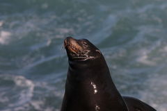 California Sea Lion Zalophus californianus 3. A California Sea Lion Zalophus californianus near La Jolla Cove, California royalty free stock photo