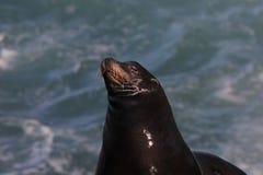 California Sea Lion Zalophus californianus 3 royalty free stock photo