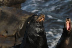 California Sea Lion Zalophus californianus 5. A pair of California Sea Lion Zalophus californianus near La Jolla Cove, California stock image