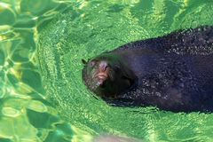 The California sea lion Zalophus californianus. Swimming in a water stock photo