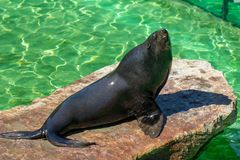 The California sea lion Zalophus californianus. At a water royalty free stock photo