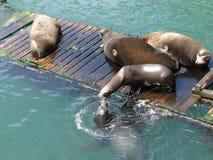 California sea lions Stock Photos