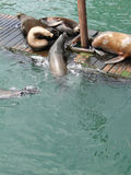 California sea lions Royalty Free Stock Image
