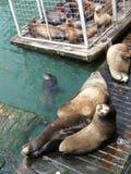 California sea lions Royalty Free Stock Photography