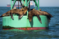 California Sea Lions. On offshore navigational bouy Stock Image