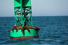 California Sea Lions. On offshore navigational bouy Royalty Free Stock Image
