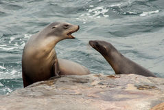 California Sea Lions Royalty Free Stock Images