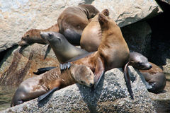 California sea lions. At Monterey relaxing on boulders Royalty Free Stock Photo